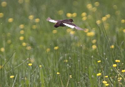 O pequeno frango-d'água-d'asa-branca foi incluído na categoria criticamente em risco de extinção.Foto: Divulgação/Warwick Tarboton/worldsrarestbirds.com/IUCN