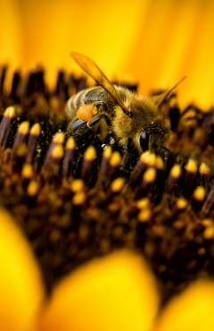 Three Bees on Sunflower