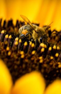 Three Bees on Sunflower