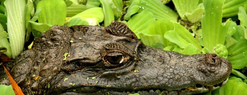 04-crocodilo