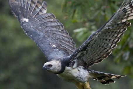 aguia-harpia-topo