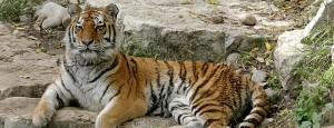 Zoo cria passarela para leões e tigres interagirem com o público, nos EUA