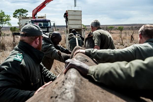 Várias pessoas são necessárias para realocar rinocerontes no Parque Nacionald e Kruger. Foto: Stefan Heunis/AFP