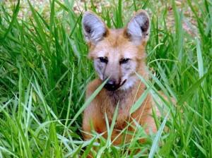 Zoológico de Piracicaba abriga um lobo-guará, o Lobão, desde março de 2014. Foto: Divulgação/Zoo