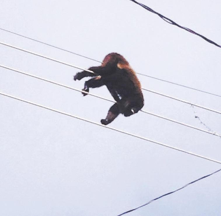 Macaco bugio foi eletrocutado em rede de energia próxima ao zoo. Foto:  Cortesia Angélica Tavano