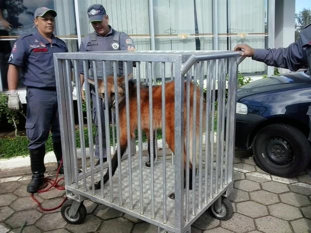 Lobo-guará é resgatado por bombeiros na manhã desta terça-feira. Foto: Arquivo Pessoal/ José Roberto Júnior