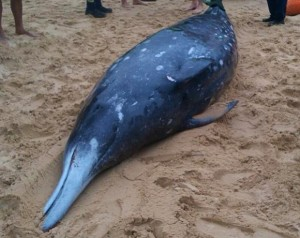 Baleia-bicuda, que apareceu morta a cerca de 150 quilômetros de Sydney, na Austrália. Foto: AFP Photo/ORRCA/Elise Bailey