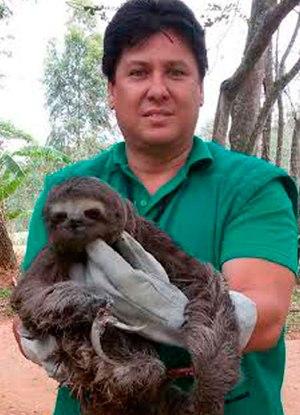 Fiscais da Prefeitura de Caxias resgataram o bicho-preguiça, que passará por cirurgia em hospital veterinário Foto:  Divulgação