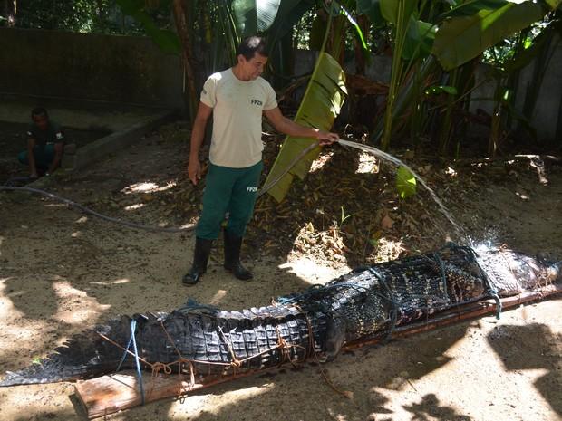 Jacaré Açu está no Parque Zoobotânico de Macapá. Foto: Dyepeson Martins/G1