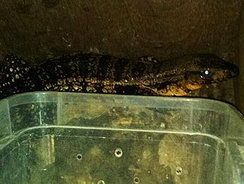 Iguana era transportada dentro de caixa há três dias Foto: Polícia Ambiental/ Várzea Grande-MT