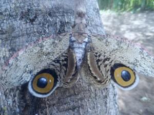 Jequitirana Boia, hemíptero confundido com 'borboleta-coruja', foi achado na zona rural de Maetinga, na Bahia. Foto: Altier Souza/Site Destaque Bahia
