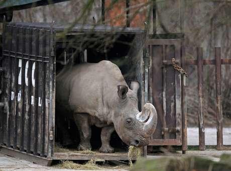 Com a morte de Suni, no Quênia, restam apenas seis animais da espécie na Terra Foto: The Independent / Reprodução