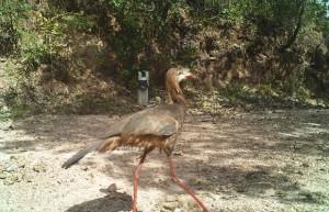 Seriema é vista na Reserva Natural Serra do Tombador. Foto: Divulgação/Grupo Boticário