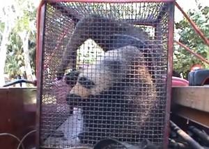 Tamanduá deverá ser solto novamente na natureza. Foto: Reprodução / TV TEM
