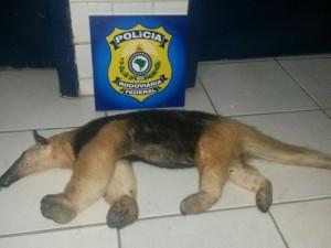 Animal apreendido em Floriano. Foto: Polícia Rodoviária Federal