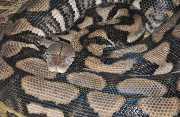 Cobra Thelma, que deu à luz seis filhotes sem ter tido contato com machos. Foto: Reprodução/Facebook/Louisville Zoo