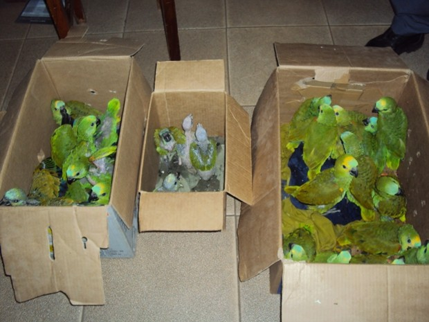Aves foram apreendidas em Ilha Solteira. Foto: Polícia Ambiental/Divulgação