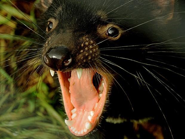 Diabo da Tasmânia. Foto: Greg Wood/Arquivo AFP