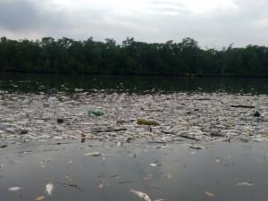 Centenas de peixes apareceram mortos perto da Alemoa. Foto: Rafaella Martinez / Arquivo Pessoal