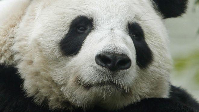 Tain Tian está no zoo de Edimburgo desde 2011.