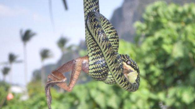 Cientistas que estudam o aperto dado pelas cobras dizem que ele é forte o suficiente para afetar a circulação sanguínea.