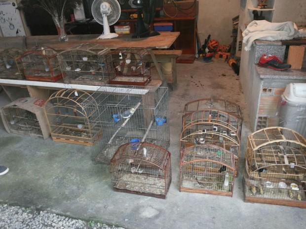 Aves estavam em gaiolas encontradas em duas casas. Foto: Polícia Militar/Divulgação