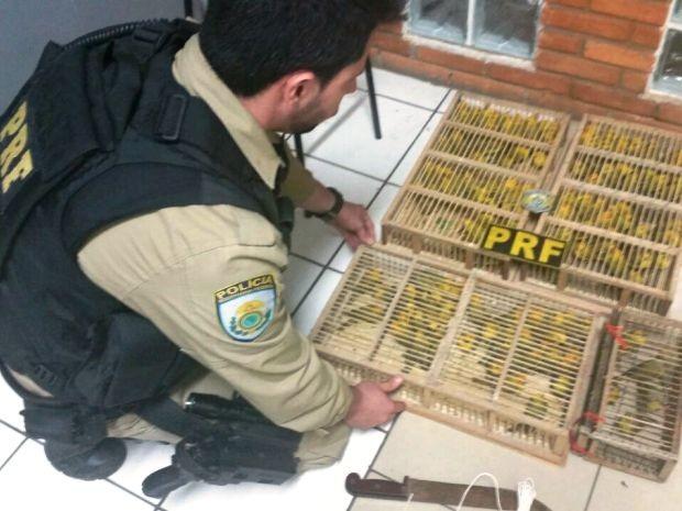 Canários estavam distribuídos em gaiolas. Foto: Polícia Rodoviária Federal / Divulgação