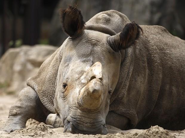 Nabire, uma fêmea de rinoceronte branco que nasceu e viveu 31 anos no zoológico de Dvur Kralove, na República Tcheca, em foto de 8 de julho de 2011. Foto: AP Photo/Petr David Josek