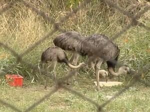 Emas que sobraram no zoológico de Araçatuba. Foto: Reprodução / TV TEM