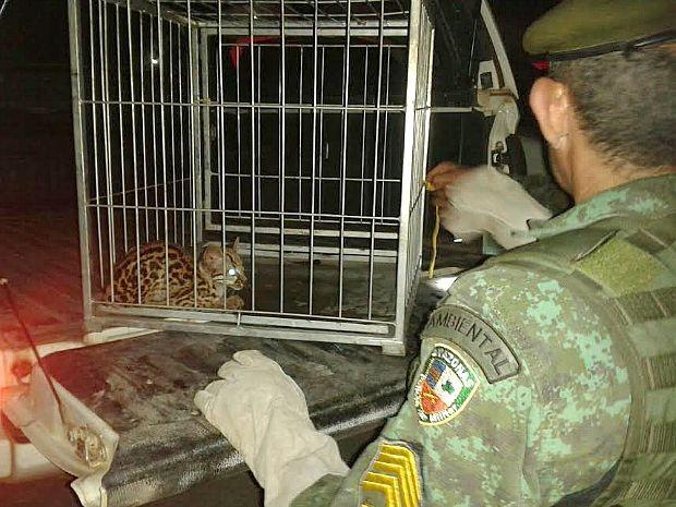 Batalhão Ambiental afirmou que animal corria risco de ser morto no local. Foto: Divulgação/Batalhão Ambiental