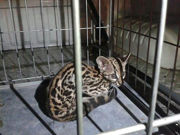 Filhote foi encontrado sozinho em sítio na rodovia AM-010. Foto: Divulgação/Batalhão Ambiental