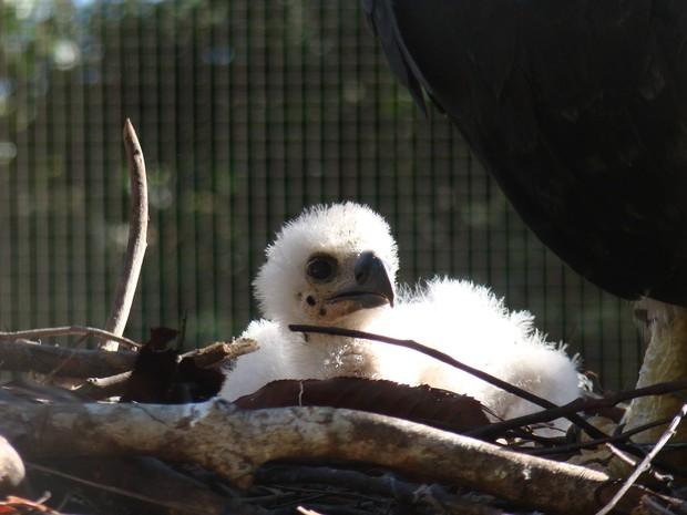 Filhote de gavião real tem plumagem branca, mas deve ficar com a mesma cor dos pais quando chegar à idade adulta. Foto: Antonio Luiz / Divulgação