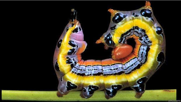 Na foto acima, a Dasylophia anguina, em uma postura defensiva. Foto: Samuel Jaffe/Divulgação