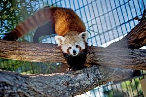Um panda vermelho atinge 60 cm de altura, sem contar a cauda peluda e listrada. Foto: Drew Angerer para The New York Times