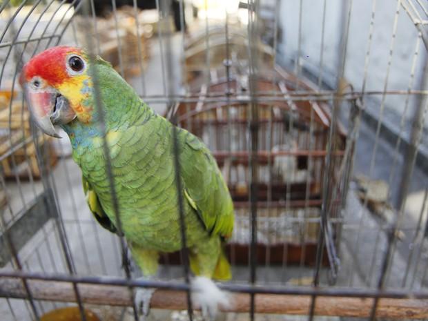 Segundo o GAM, papagaio chauá corre risco de extinção. Foto: Vagner Basílio/ Ururau