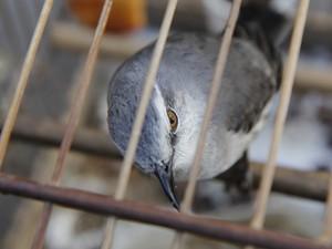 O proprietário não tinha nenhum documento de legalização dos animais. Foto: Vagner Basílio/ Ururau