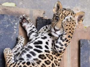 Filhote de onça-pintada foi resgatado em MT. Foto: Lucas Ninno/GCom