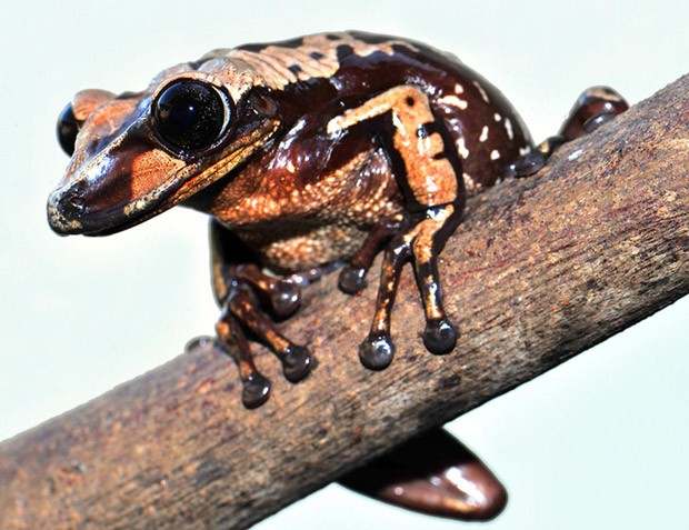 Perereca Aparasphenodon brunoi é espécie peçonhenta, que injeta veneno por meio de espinhos na cabeça. Foto: Carlos Jared/Instituto Butantan