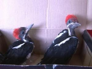 Pica-paus foram encontrados na mesma região, há uma semana. Foto: Rede Amazônica/Reprodução