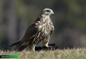 O falcão-sacre (Falco cherrug) é uma espécie muito utilizada na falcoaria. Sua área área de distribuição estende-se da Europa oriental até a Manchúria.  Foto: Petr Mückstein