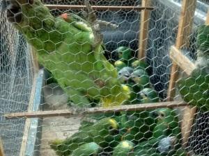 Filhotes de papagaio apreendidos. Foto: 3ª Companhia de Polícia Ambiental de Gurupi/ Divulgação