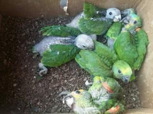 Animais seriam comercializados. Foto: 3ª Companhia de Polícia Ambiental de Gurupi/ Divulgação