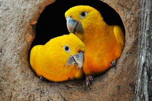 Ararajuba tem as cores do Brasil no corpo e nas asas. Foto: Rudimar Narciso Cipriani