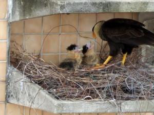 Gavião alimenta filhotes em ninho formado no alto de prédio. Foto: Marcos Vinicius Yog / Arquivo Pessoal