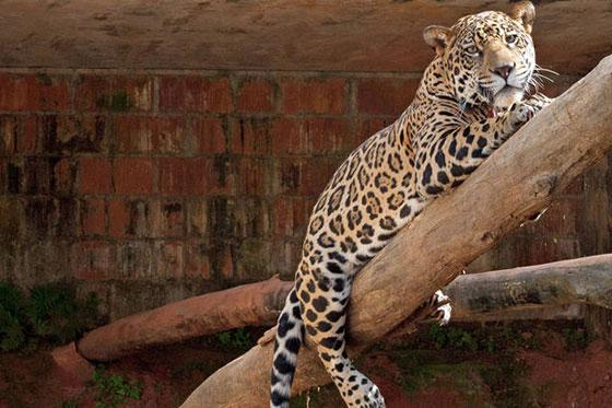 Onça Pintada: lidar com animais silvestres é um dos desafios que o país enfrenta