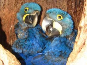 Adote um Ninho é uma ação para obter recursos para dar continuidade a ações de pesquisa e monitoramento de ninhos naturais e instalação de ninhos artificiais na região do Pantanal. (Foto: Divulgação)