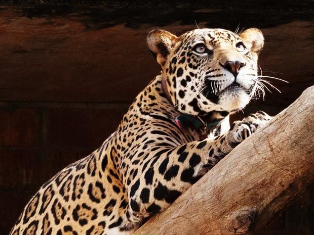 A onça-pintada Felipe será solta em seu habitat natural (Foto: Divulgação/ONG Mata Ciliar)