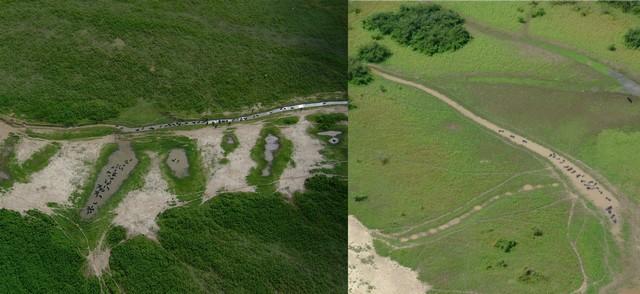 Populações de búfalos situadas no Pantanal – Foto de Walfrido Tomas, pesquisador da Embrapa Pantanal