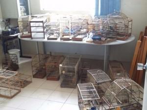Pássaros eram criados de forma irregular. Foto: Divulgação - Sd Silveira/1º BABM