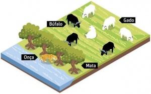Búfalos fazem barreira para impedir ataque de onças a rebanho bovino (Ilustração: Folha de São Paulo)